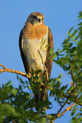Photograph - Colorado Swainson's Hawk Dark Morph by John De Bord