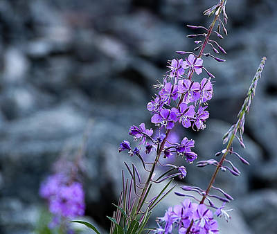 Photograph - Colorado Wildflower by Barry C Donovan