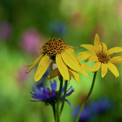 Photograph - Colorado Yellow Wildflower With Colorful Bokeh by Cascade Colors