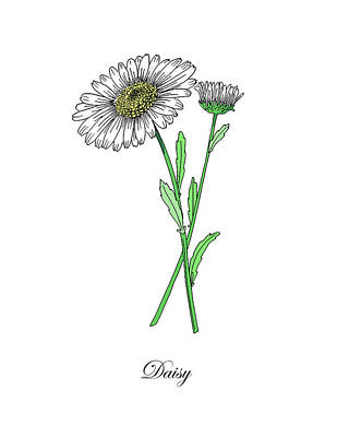 Painting - Colored Daisy. Botanical by Masha Batkova