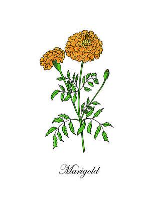 Mixed Media - Colored Marigold. Botanical by Masha Batkova