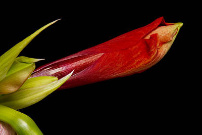 Colorful Amaryllis About To Bloom Art Print