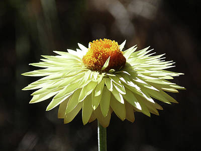Photograph - Colorful Australian Daisy by Margaret Saheed