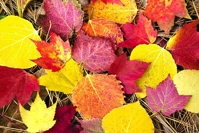 Maple Leaf Art Photograph - Colorful Autumn Leaves by Christina Rollo
