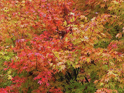 Photograph - Colorful Autumn Maple Leaves by Gill Billington