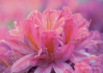 Photograph - Colorful Azalea by Patricia Strand