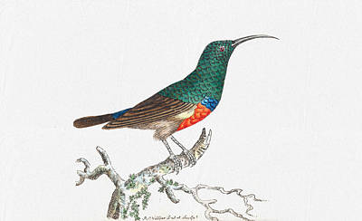 Drawing - Colorful Bird Wal Art - Red Bellied Creeper Prints by Wall Art Prints