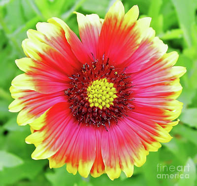 Photograph - Colorful Blanket Flower by D Hackett