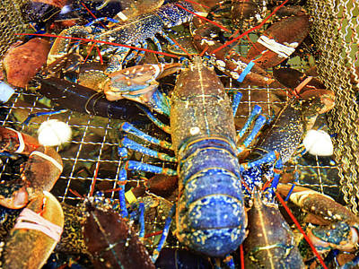 Photograph - Colorful Blue Lobster by Allan Levin