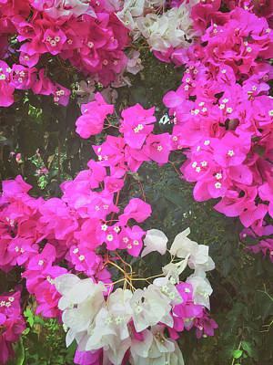 Bougainvillea Leaves Photograph - Colorful Bougainvilea Flowers by Tom Gowanlock