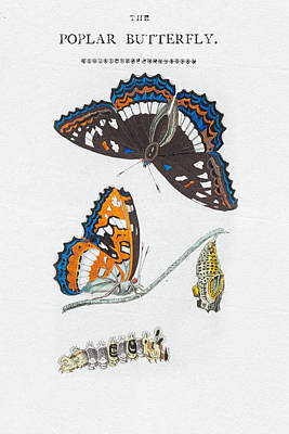 Drawing - Colorful Butterfly Art - Poplar Butterfly by Wall Art Prints