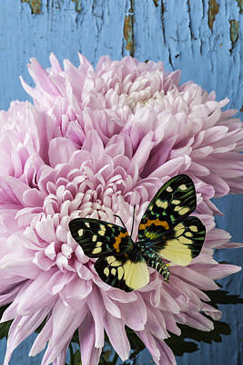Butterfly Photograph - Colorful Butterfly On Pink Mum by Garry Gay
