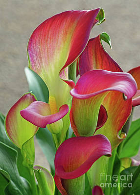 Photograph - Colorful Calla Lillies by Larry Nieland