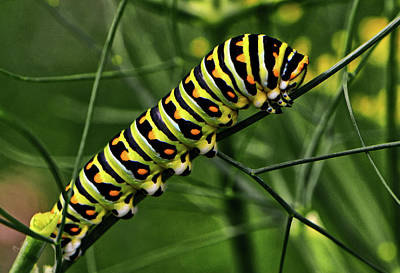 Photograph - Colorful Caterpillar 004 by George Bostian