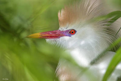 Photograph - Colorful Cattle Egret by Fran Gallogly