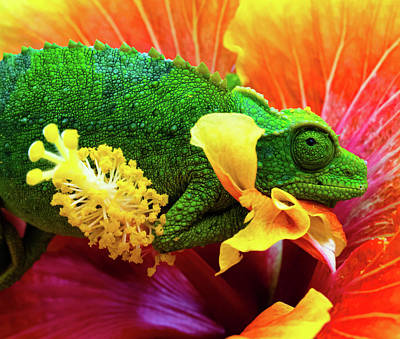 Camo Wall Art - Photograph - Colorful Chameleon by Christopher Johnson