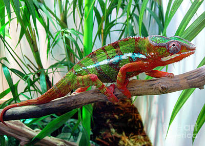 Colorful Chameleon Art Print by Nancy Mueller