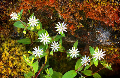 Photograph - Colorful Chickweed by Shari Jardina