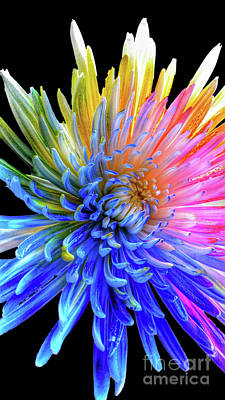 Photograph - Colorful Chrysanthemum by Tony Baca