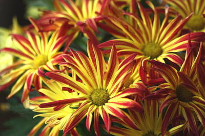 Photograph - Colorful Chrysanthemums by Sheila Brown