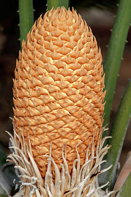 Beers On Tap - Colorful closeup of a Cycad fruit by Emma Grimberg