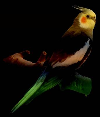 Photograph - Colorful Cockatiel by Nancy Pauling
