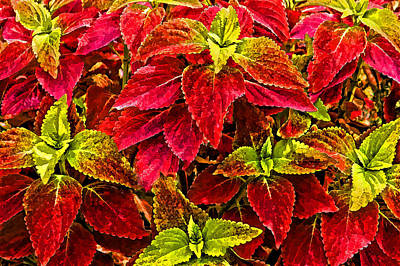 Photograph - Colorful Coleus  by HH Photography of Florida
