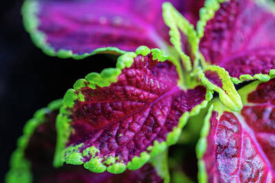 Photograph - Colorful Coleus by SR Green