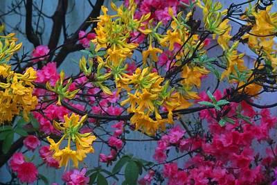 Photograph - Colorful Corner Azaleas by Kathryn Meyer
