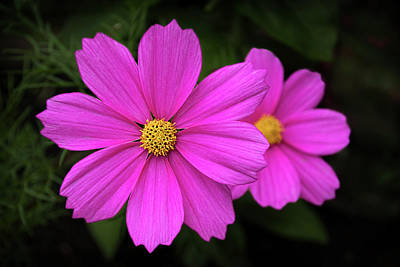 Photograph - Colorful Cosmos Flowers by Carolyn Derstine