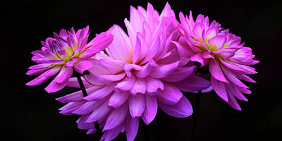 Photograph - Colorful Dahlia by Dan Myers