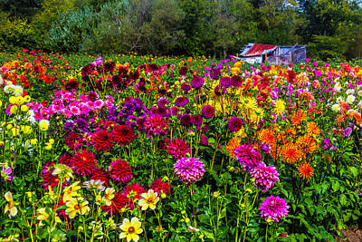 Shed Photograph - Colorful Dahlias In Garden by Garry Gay