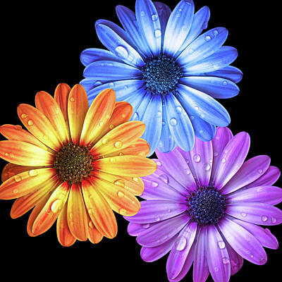 Photograph - Colorful Daisies With Water Drops On Black by Gill Billington