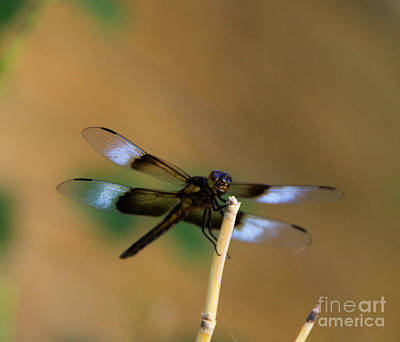 Photograph - Colorful Dragonfly by Jeff Swan