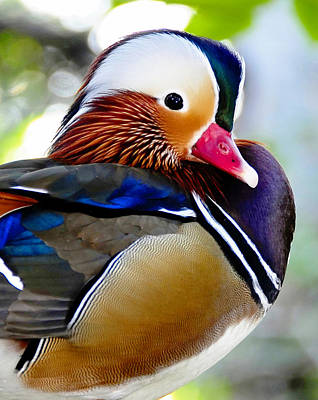 Photograph - Colorful Duck Close Up by David Lee Thompson