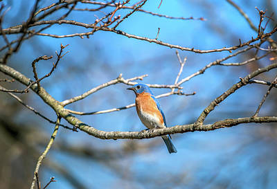 Photograph - Colorful Eastern Bluebird Perched On A Tree Branch In Springtime by Patrick Wolf