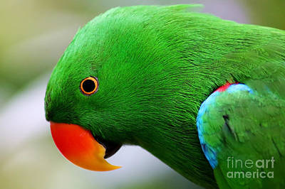 Painting - Colorful Eclectus Parrot by Sue Harper