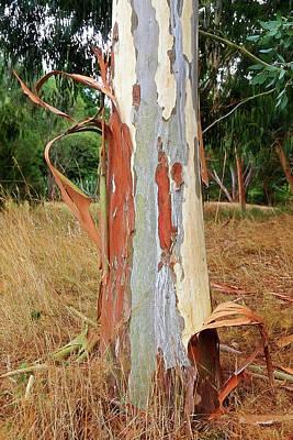 Photograph - Colorful Eucalyptus Tree Bark 3 by Gill Billington