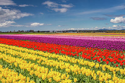 Photograph - Colorful Fields Of Tulips In The Skagit Valley by Pierre Leclerc Photography