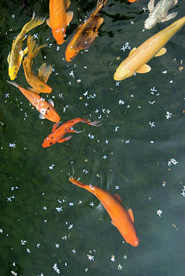Carp Photograph - Colorful Fishes And Floating Petals by Lawren