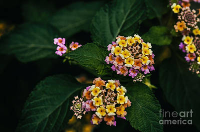 Photograph - Colorful Flowers by Charuhas Images