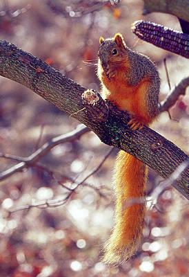 Photograph - Colorful Fox Squirrel by Bernard Lynch