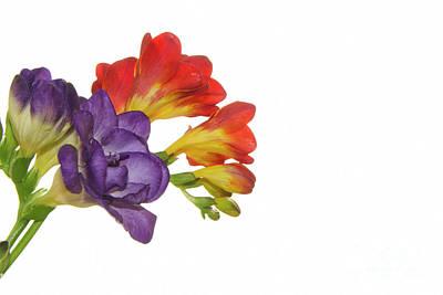 Colorful Freesias Art Print by Elvira Ladocki