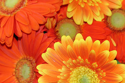 Photograph - Colorful Gerbera Daisies by Angela Murdock