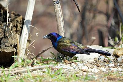 Photograph - Colorful Grackle by Bonfire Photography
