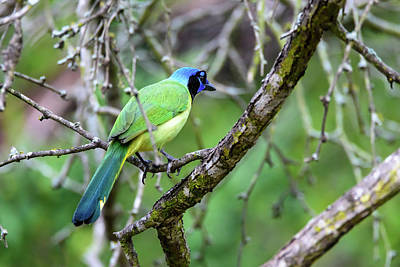 Photograph - Colorful Green Jay Of South Texas by Debra Martz