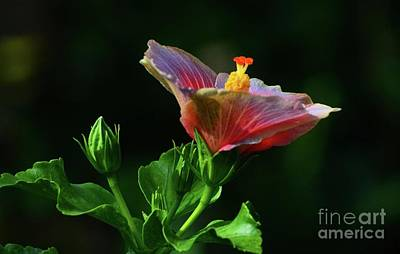 Photograph - Colorful Hibiscus by Cindy Manero