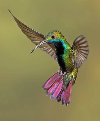 Colored Background Photograph - Colorful Humming Bird by Image by David G Hemmings