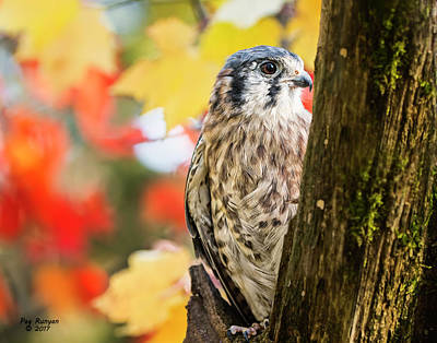 Photograph - Colorful Kestrel by Peg Runyan