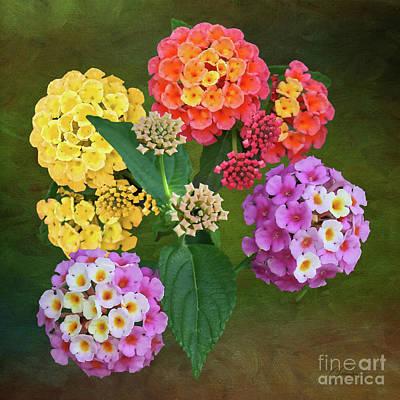 Photograph - Colorful Lantana Flower Clusters by Gabriele Pomykaj
